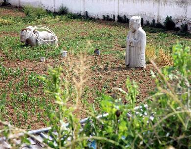 明秦王陵园变菜园 周围种满农作物