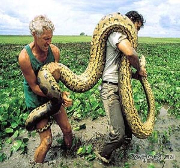 迷的巨兽 实拍世界上最大的蛇