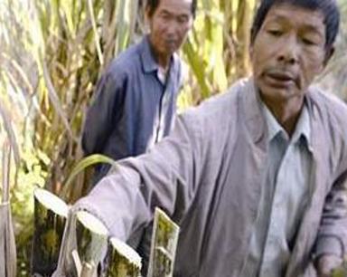 农户两亩多甘蔗被腰斩 损失上万