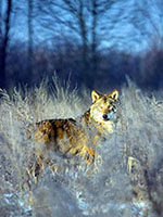 《受辐射的狼群》