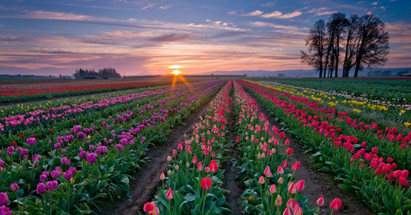 触摸荷兰郁金香的春天