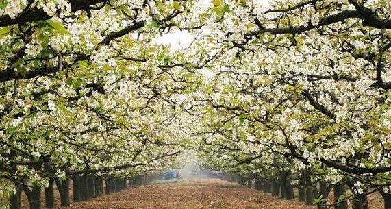 河北赵县梨花节_每年梨花繁盛之时,赵县都会举办一年一度的\