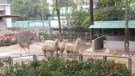 """广州动物园携羊驼""""萌主""""贺新春"""