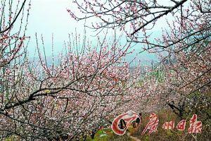 105国道沿线争芳斗艳的桃花。