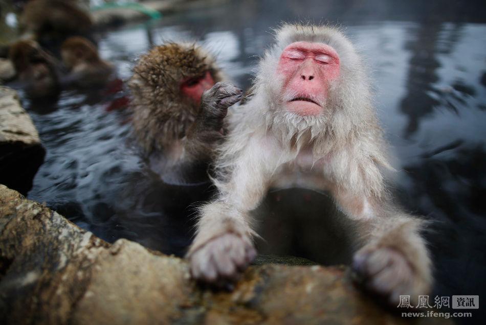泡温泉的日本狝猴
