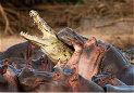 危险动物:发怒的河马