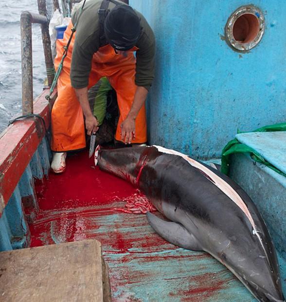 秘鲁渔民为捕鲨鱼猎杀海豚当诱饵
