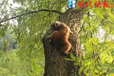 """国家保护动物蜂猴,草鸮 南通军山来了两位""""稀客"""""""