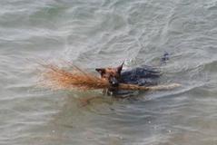 青岛现环保狗 不畏寒冷跳海捡垃圾