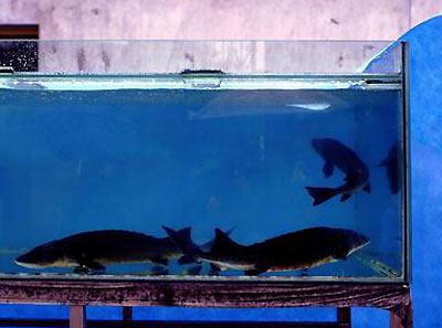 客厅养鱼禁忌 鱼缸千万不能盖盖子 --凤凰房产