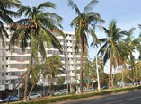 追·问第9期:椰子树抗风 为何不作行道树种植?