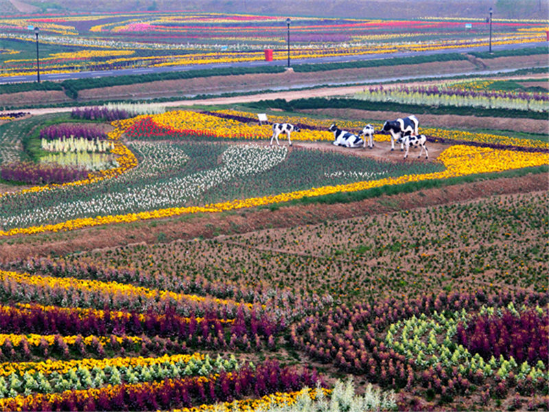 大丰荷兰花海 静看花开遍野