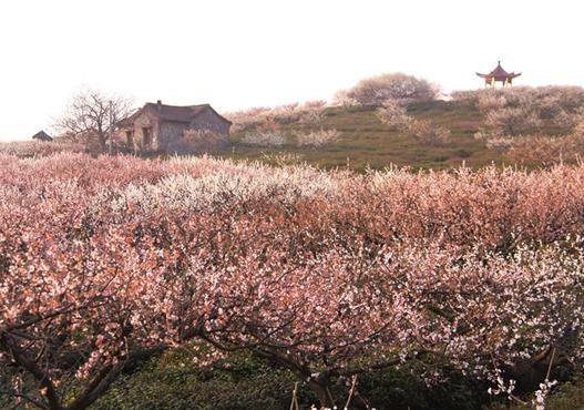 冬末春初万物复苏一到傅家边的梅花山漫山遍野都是各色的梅花迎风
