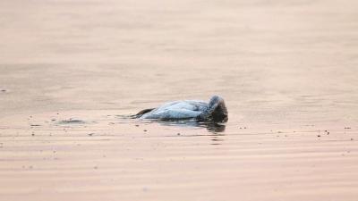 网曝三门峡小天鹅为追随亡母撞冰而亡