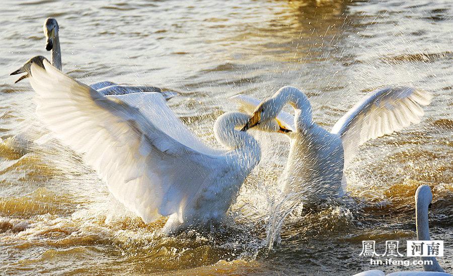 年年观赏白天鹅,年年天鹅皆不同  (组图) - 安然 - 轩鼎紫气
