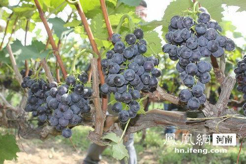 2013郑州富景生态葡萄节开幕 亲身体验摘葡萄