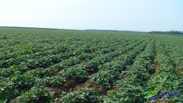 信阳市平桥区红薯种植区图片