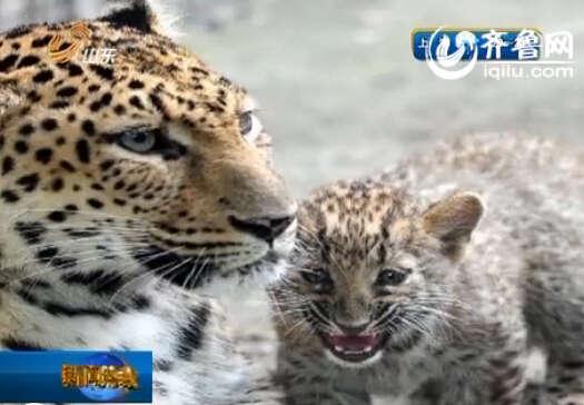 """《早安山东》报道,昨天,在济南动物园,7月26日出生的金钱豹幼崽""""灵儿"""""""