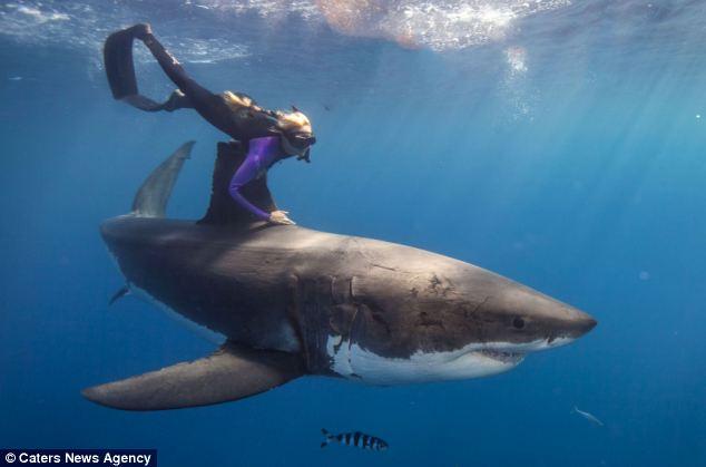 美国女子深海骑鲨鱼同游轻松自如【组图】