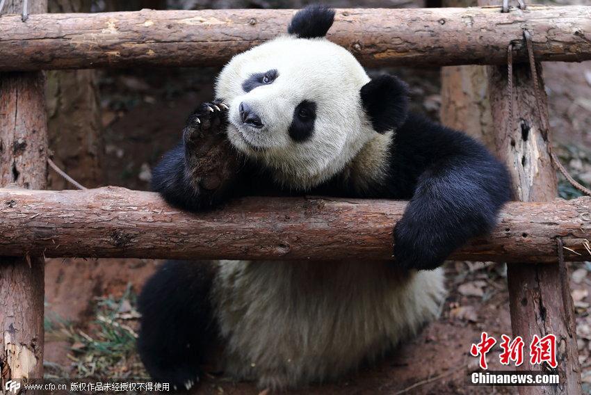 """杭州动物园大熊猫呆萌""""打坐""""萌翻全场"""