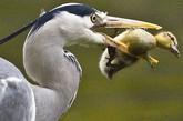 近日,爱尔兰都柏林的赫伯特公园惊现苍鹭偷猎小鸭子的一幕。由于连续一周的雨天,一只苍鹭不能外出捕鱼,因此饥肠咕咕地飞到鸭塘寻找捕食机会。刚好一只小鸭子与妈妈走远了,成了苍鹭猎食的目标。这只苍鹭伸出长脖子,从池塘边上的笼子里将小鸭子叼走,整个吞进肚子里。这些惊险的时刻被摄影师保罗•休斯正好拍到。