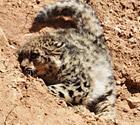 青海拍到野生雪豹