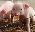南昌现双面小猪
