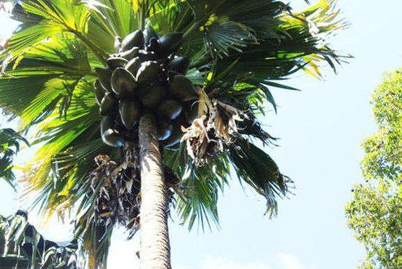 """海椰子树是一种富有神秘色彩的树种,高达二三十米,被誉为""""椰子树中的"""