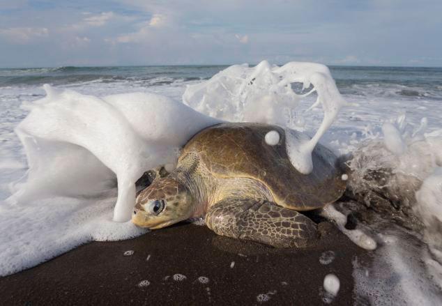 加数千丽龟爬上海岸集体产卵 组图