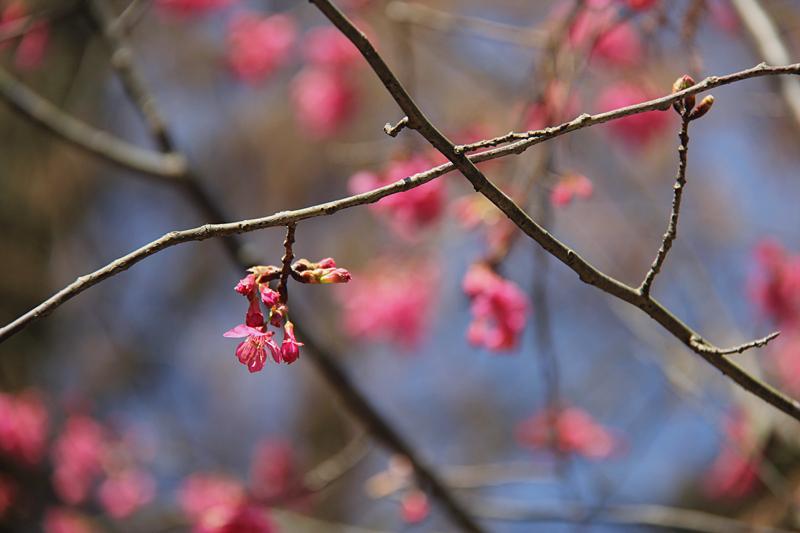 暖冬游福州森林公园 樱花绽放