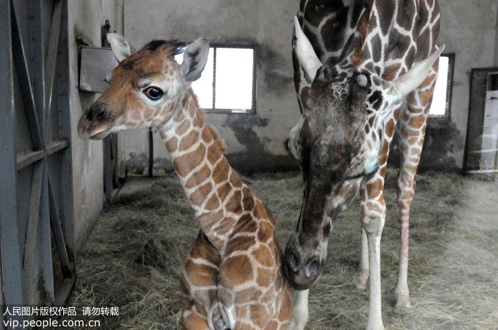 苏州动物园添长颈鹿宝宝 母子依偎显温情