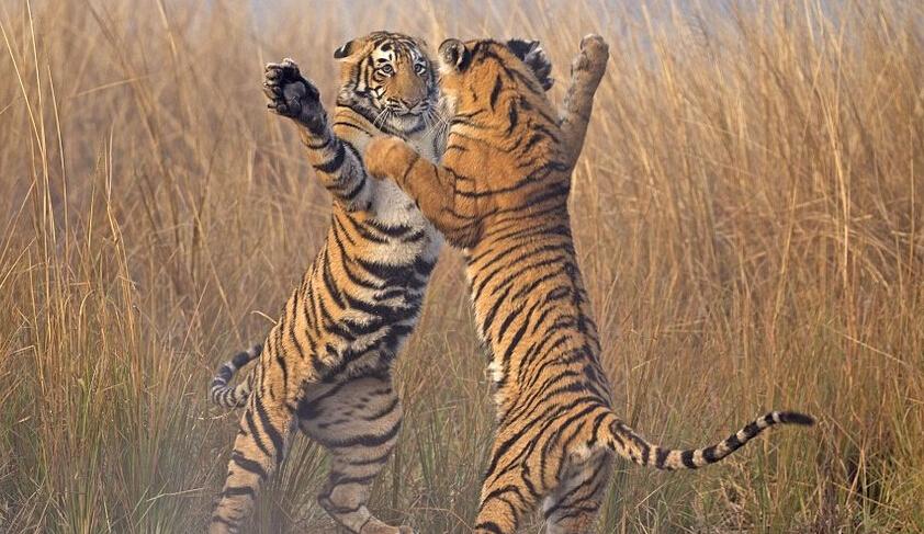 """""""共舞""""的老虎 让人忍俊不禁"""