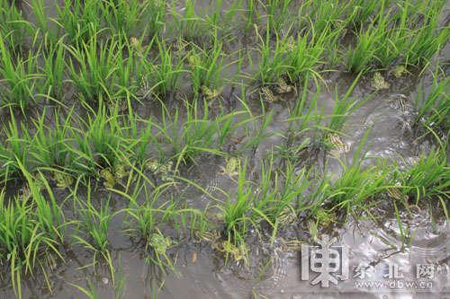 稻田里的青蛙.-绥滨推广稻田生态养蛙 农业产业结构调整实现新突破