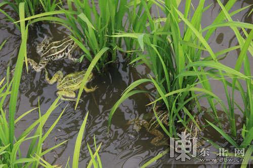 青蛙在稻田里畅游嬉戏.-绥滨推广稻田生态养蛙 农业产业结构调整实