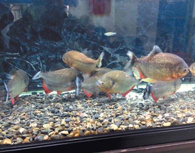石狮鱼友网上叫卖10条食人鱼 数秒可撕碎小白鼠