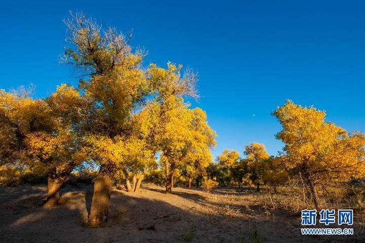 美丽的额济纳胡杨林景色(9月23日摄). 金秋时节,内蒙古自治区额