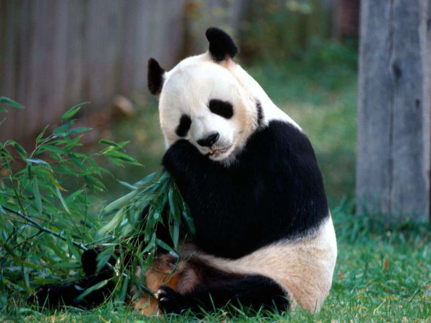 据了解,这两只大熊猫均来自中国大熊猫保护研究中心都江堰基地,分别