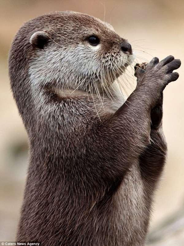 可爱水獭双手合十如同祈祷(图)