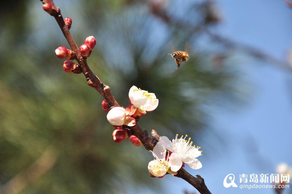春到岛城崂山乡村杏花吐蕊 蜜蜂采蜜忙图片