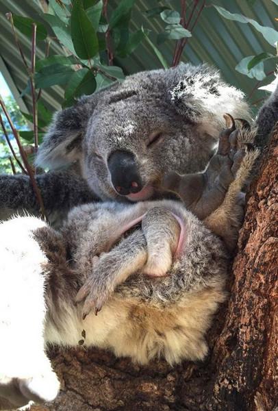 澳大利亚管理员帮树袋熊照顾可爱幼崽