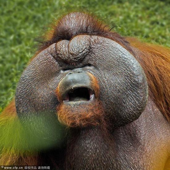 印尼动物园内大猩猩因为矮胖懒惰吸引游客