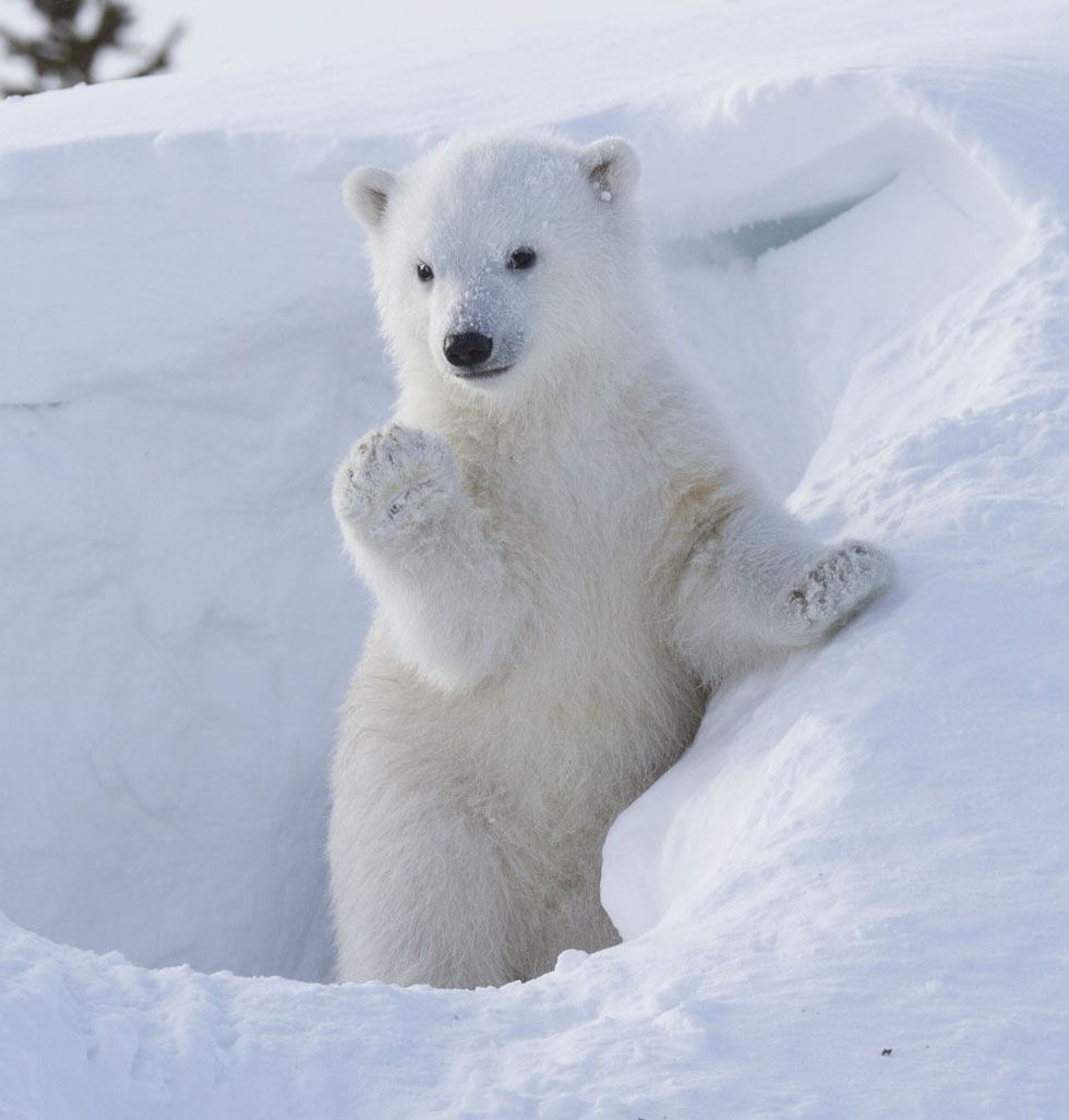 加拿大公园北极熊宝宝拱手作揖萌翻观众