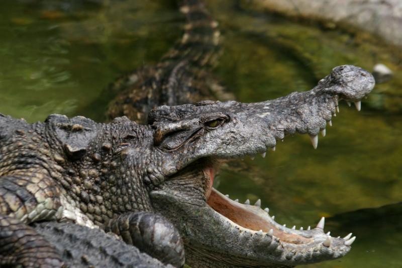 精明的鳄鱼猎人 会团体合作诱捕猎物