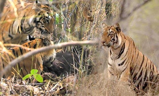实拍黑熊被三只老虎捕杀分食