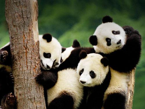 治愈系 实拍熊猫三胞胎与母亲团聚玩耍