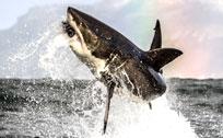摄影师抓拍大白鲨跃出水面捕食震撼瞬间