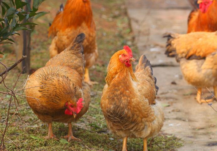 科学家研究发现:中国是现代家鸡的起源地