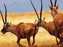雄羚羊以死相搏 雌羚羊扎堆旁观