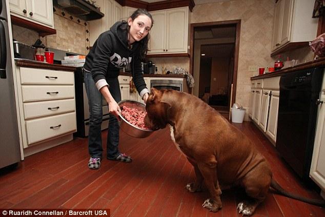 世界上最大的斗牛犬(5/11) -  东方.旭 - 东方.旭的博客