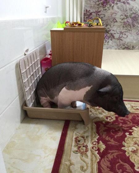 中晒出她和五花的合照.图片中,一只黑白花色猪窝在被子中,睡